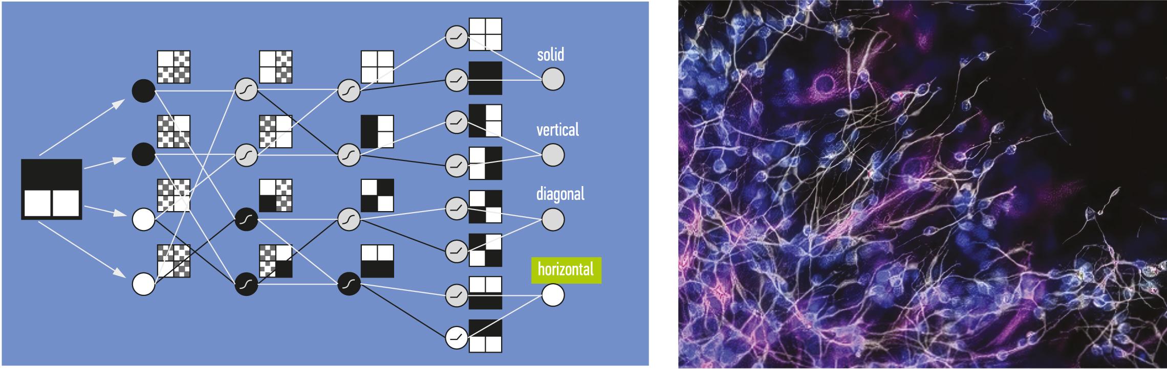 Организация нейронной сети и нейроны человеческого мозга